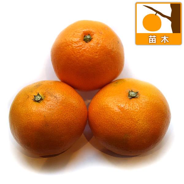 ウンシュウミカン:みやがわわせ(宮川早生)4~5号ポット:果樹の苗 ...