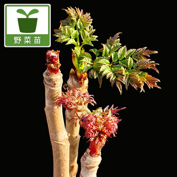 タラ の 芽 トゲ