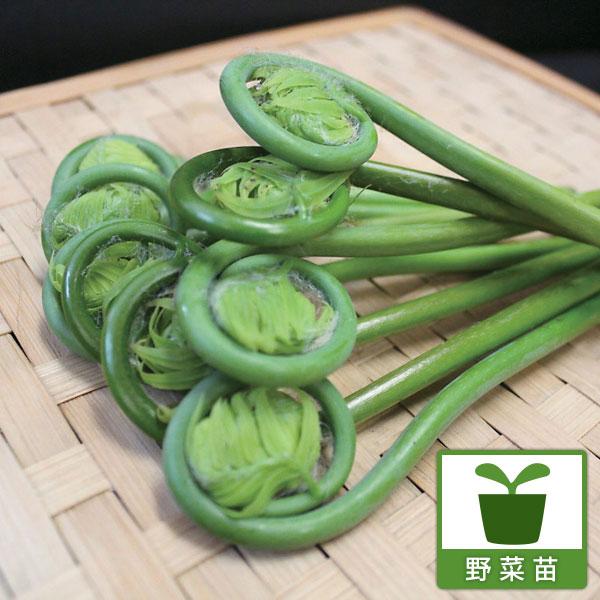 ぜんまい 野菜