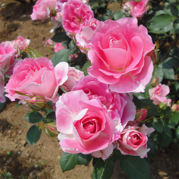 四季咲中輪バラケアフリーワンダー大苗バラの苗 園芸ネット本店