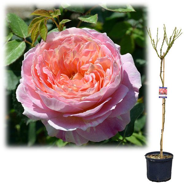 6号 (1鉢) (観葉植物) ローズポンパドゥール デルバール バラ苗