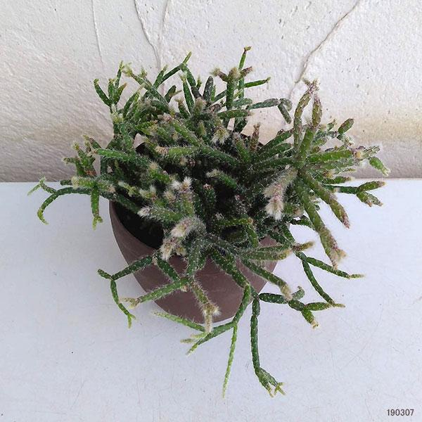 リプサリス ピロカルパ3 5号ポット 観葉植物 園芸ネット 本店 通販 Engei Net