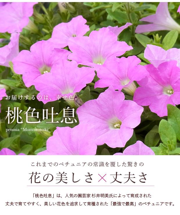 ランドスケープペチュニア 桃色吐息:草花:栽培ガイド 『園芸ネット ...